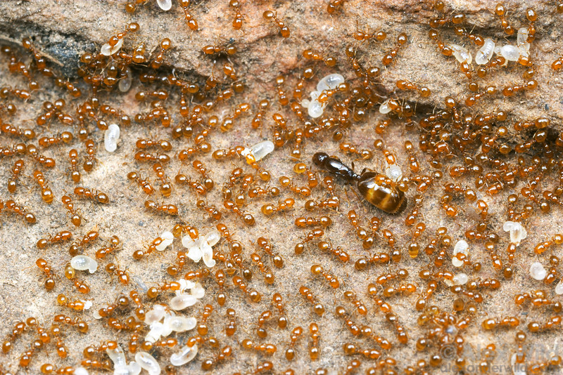Monomorium sydneyense queen and workers in the brood nest.  Yandoit, Victoria, Australia