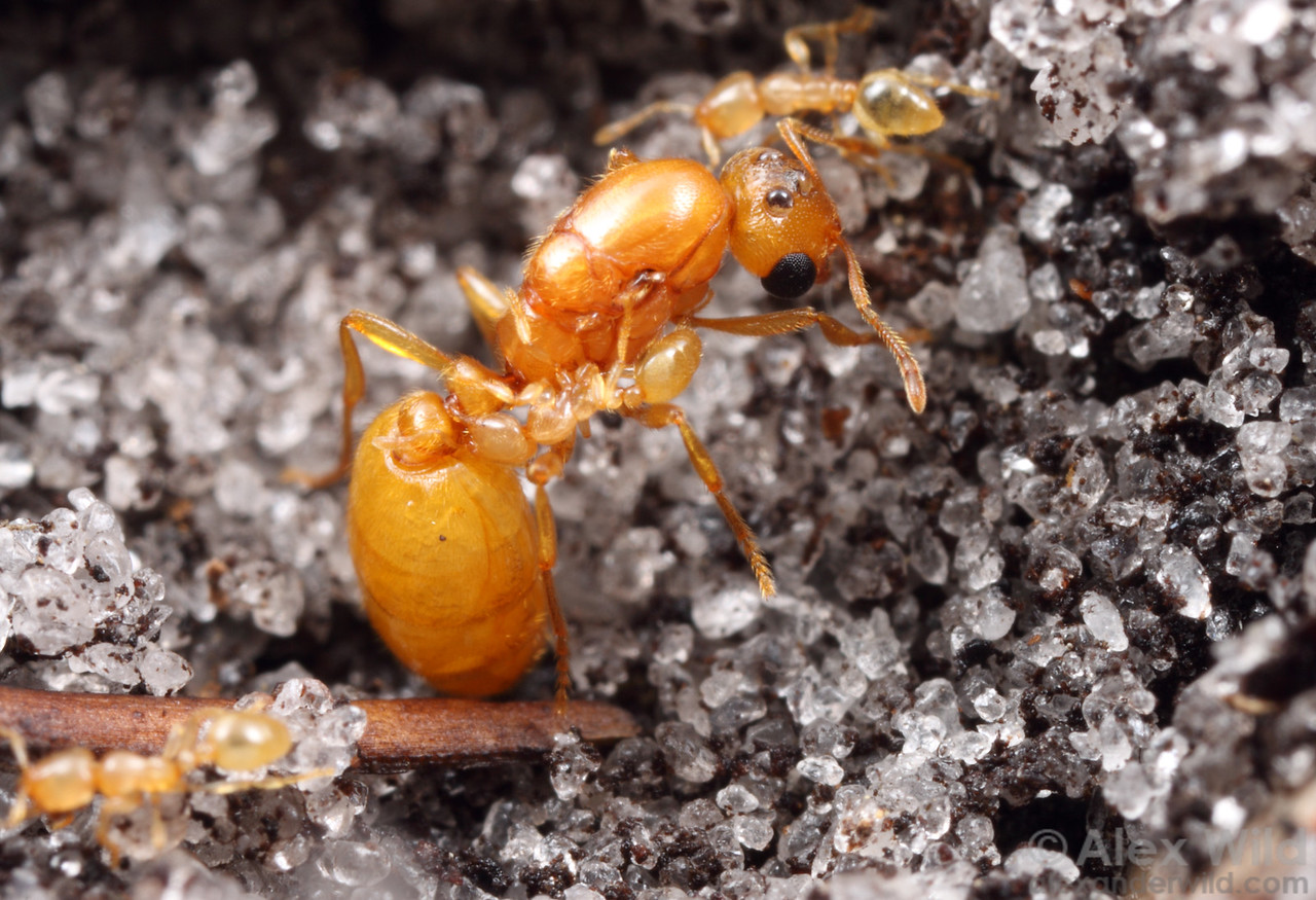 Solenopsis pergandei queen and workers.    Archbold Biological Station, Florida, USA