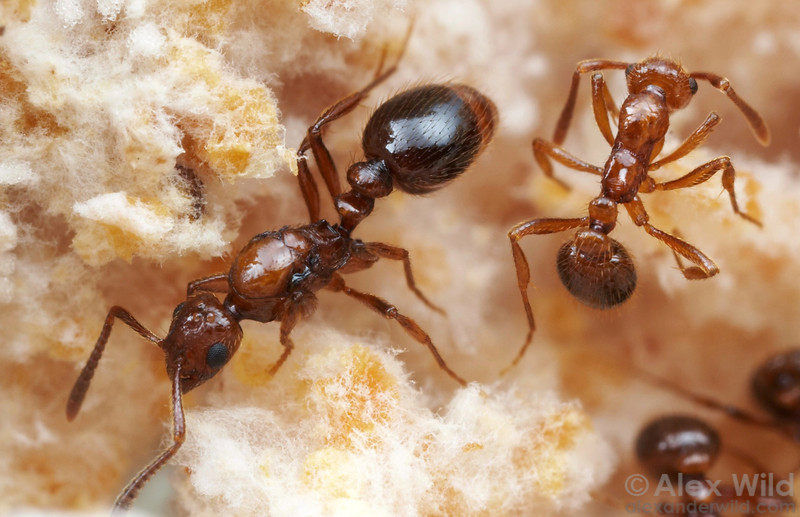 Megalomyrmex adamsae queen and workers. This species is a social parasite that inhabits the nest of Trachymyrmex fungus-growing ants.  Panama; captive colony at the University of Texas
