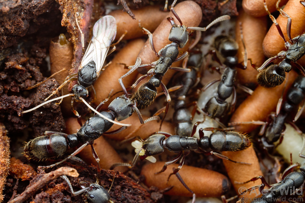 Pachycondyla (Bothroponera) sp. colony showing the queen (lower left) and a winged male (upper left) among workers and brood.  Kibale Forest, Uganda