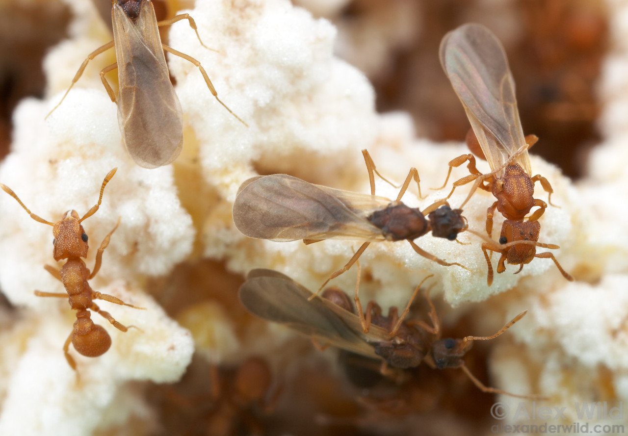 Castes in an ant colony (from left): worker, males, queen. Cyphomyrmex wheeleri.  Austin, Texas, USA