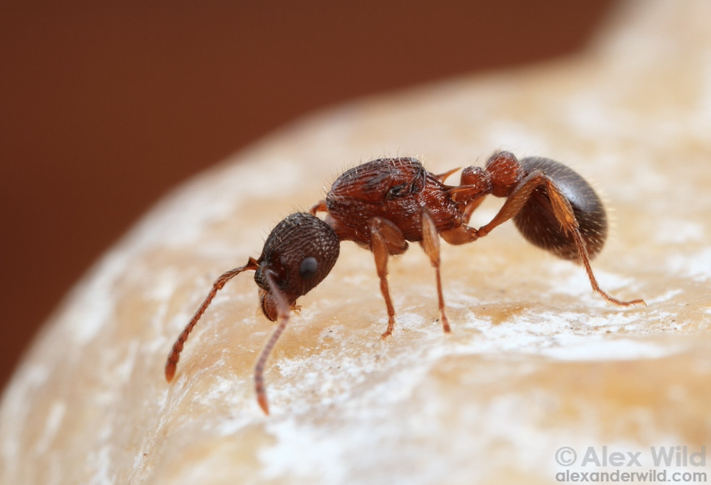 A young Myrmica queen searches for a nesting site following her mating flight.  Clinton Lake Recreation Area, Illinois, USA