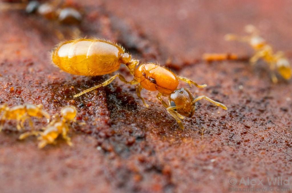 Solenopsis carolinensis thief ant queen.  Gaineseville, Florida, USA