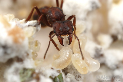 A Desert Leafcutter queen (Acromyrmex versicolor) tends to larvae in an incipient fungus garden.  Tucson, Arizona, USA