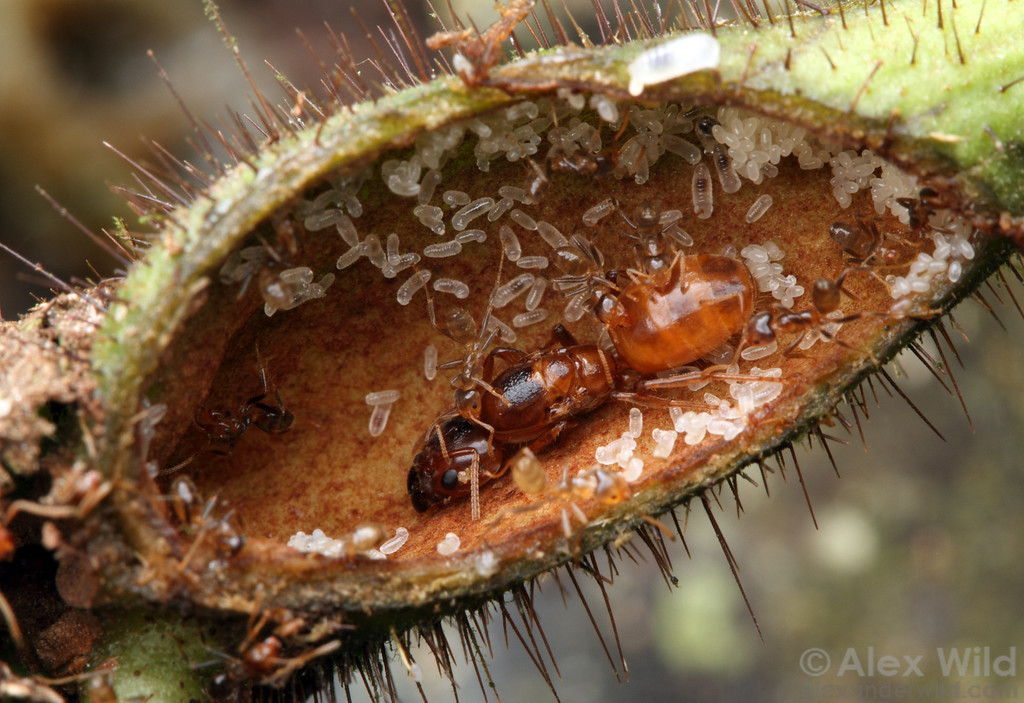 The swollen stem of a Cordia nodosa plant houses a symbiotic colony of Azteca ants. The ants protect the plant from herbivores in exchange for lodging. The large ant at center is the queen.  Jatun Sacha reserve, Napo, Ecuador