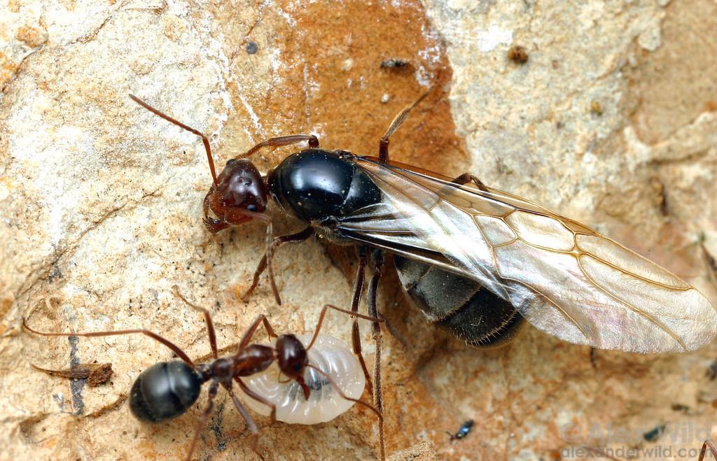Myrmecocystus mimicus alate female, worker, and larva.  Carrizo Plain Nat'l Monument, California, USA