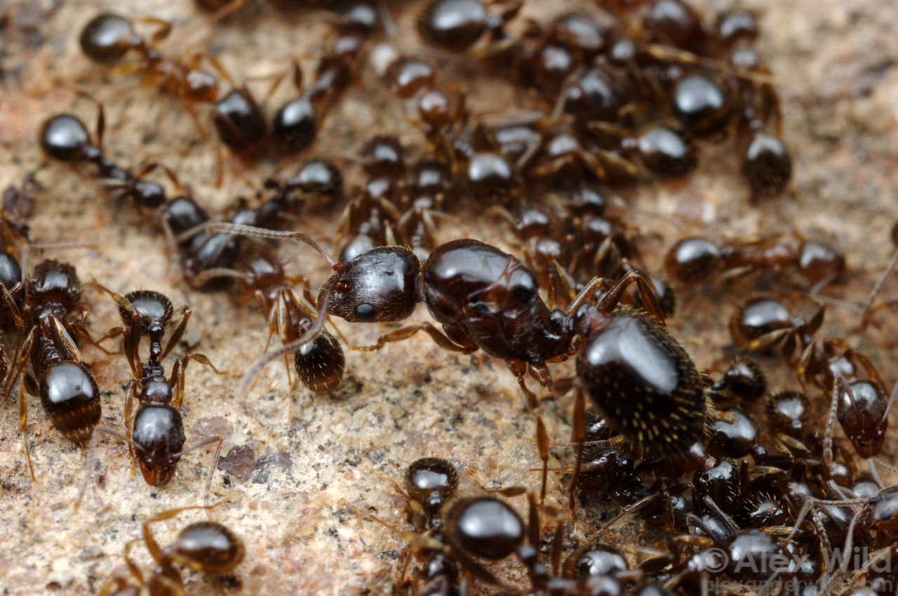 Aphaenogaster occidentalis queen and workers.  This species is one of the most common ants in California's Sierra Nevada mountains.  Blodgett Forest, California, USA