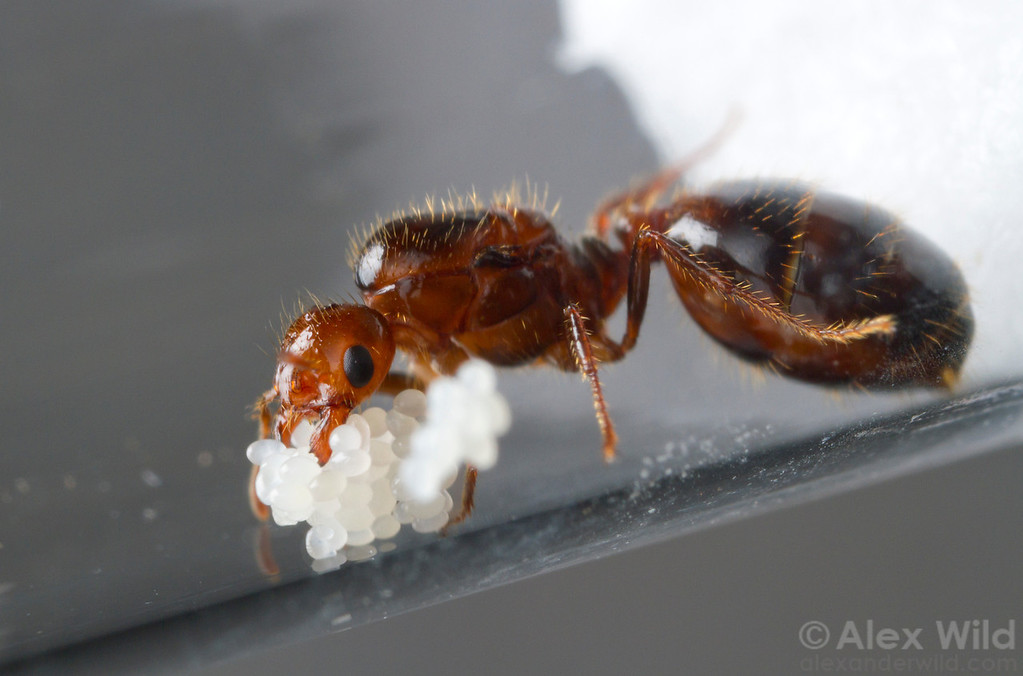 Inside a laboratory nest a young fire ant queen (Solenopsis invicta) tends to her first eggs. In nature, the queen seals herself in an underground chamber and raises the first workers on her body reserves.  Laboratory colony at the University of Central Florida, USA