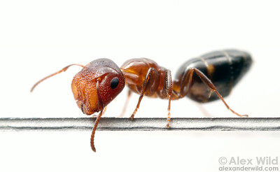 Camponotus (Colobopsis) impressus major worker. The blunt head serves as a living door to this species' twig nests.  Laboratory colony at the University of Central Florida, USA