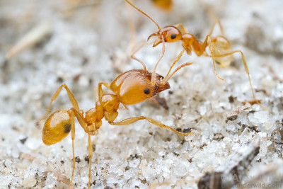 Pheidole morrisi is a common soil-nesting ant in sandy habitats in southeastern North America. This photo shows a major (left) and minor worker from the same colony.  Orlando, Florida, USA