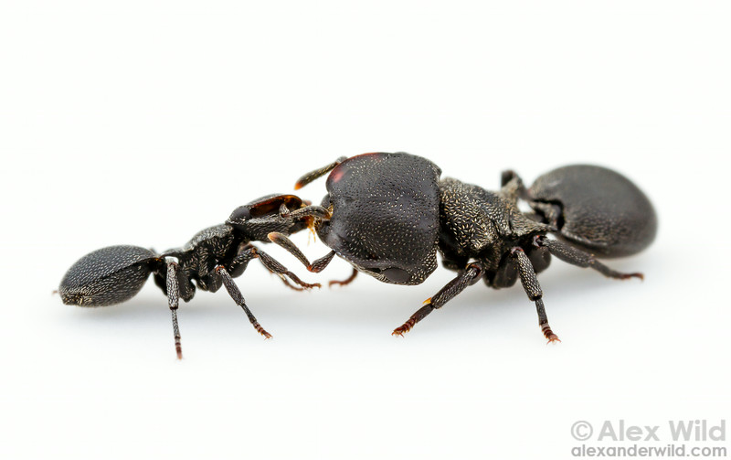 Major and minor workers of the turtle ant Cephalotes pusillus engage in trophallaxis food-sharing behavior.  Carrancas, Minas Gerais, Brazil