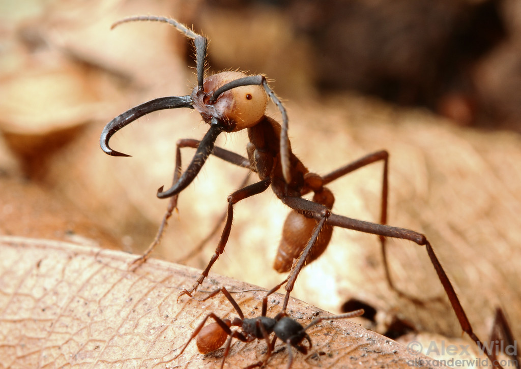 Worker Ant Vs Soldier Ant An Eciton burchellii soldier