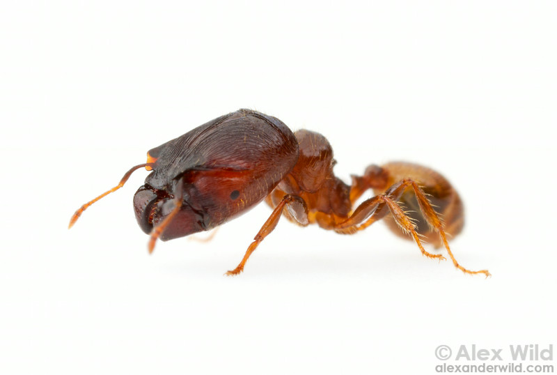 Major workers of the South American species Pheidole aberrans have an unusually large head even for a Pheidole.  Bento Gonçalves, Rio Grande do Sul, Brazil