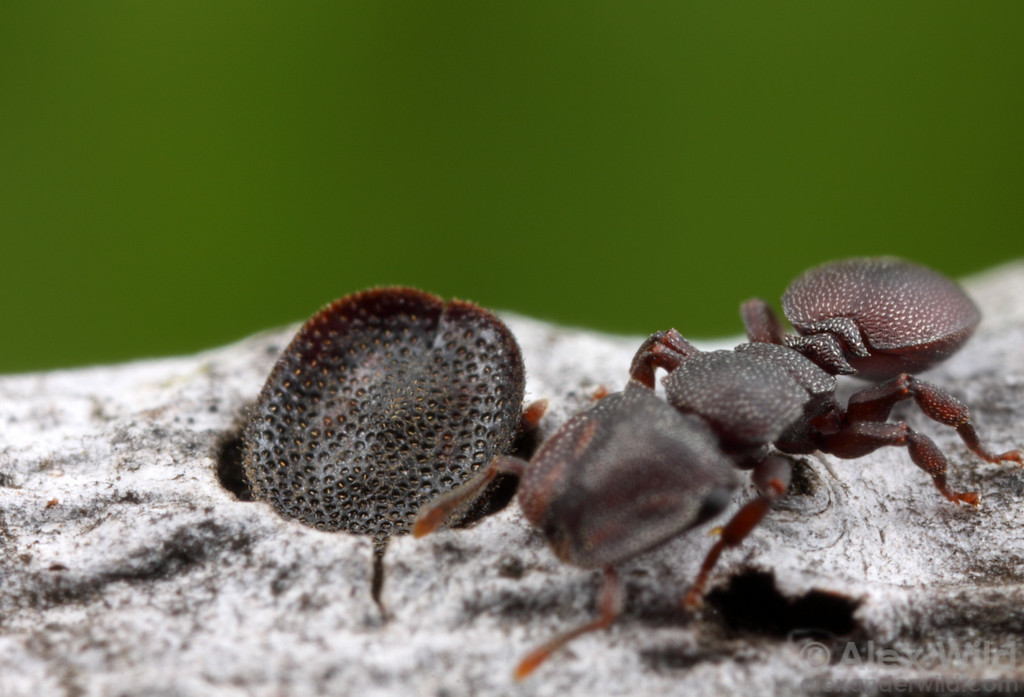 Cephalotes varians turtle ants. To enter her nest in a mangrove twig, a foraging worker must pass the door-guarding soldier whose head is roughly the same size and shape as the entrance. These ants don't build the nests themselves; rather, they inhabit burrows made by beetle larvae.  Florida Keys, USA