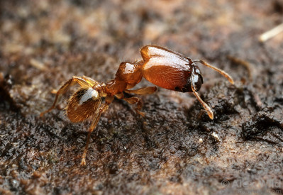 Pheidole sp. major worker, showing the massive head.  Maquipucuna reserve, Pichincha, Ecuador