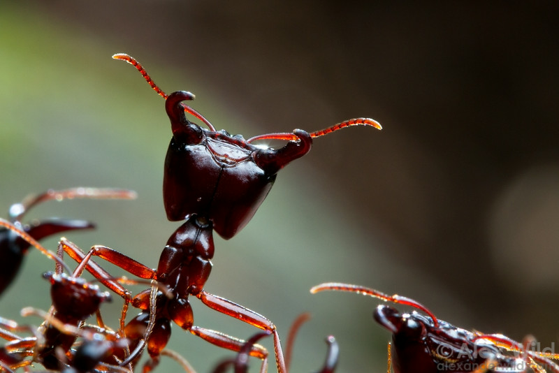 A Dorylus driver ant soldier stands guard over a foraging column.  Kibale Forest, Uganda