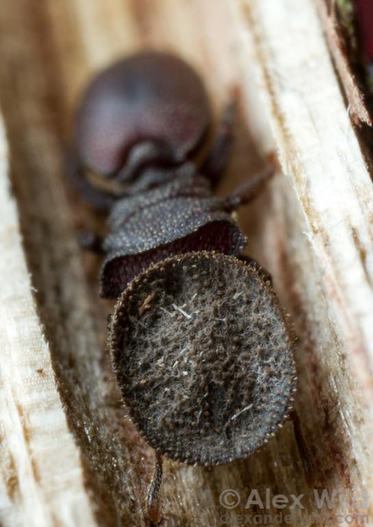 A soldier Cephalotes porrasi turtle ant.  Armenia, Belize