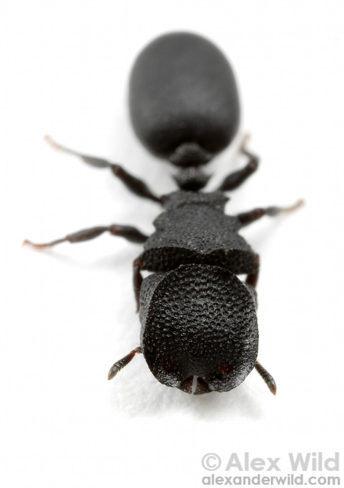 Cephalotes rohweri, the Arizona turtle ant.  The broad head disc of this soldier is used in nature to block the nest entrance.  This species nests in old burrows of wood-boring beetles and constantly faces usurpation by competing ants.    Tucson, Arizona, USA
