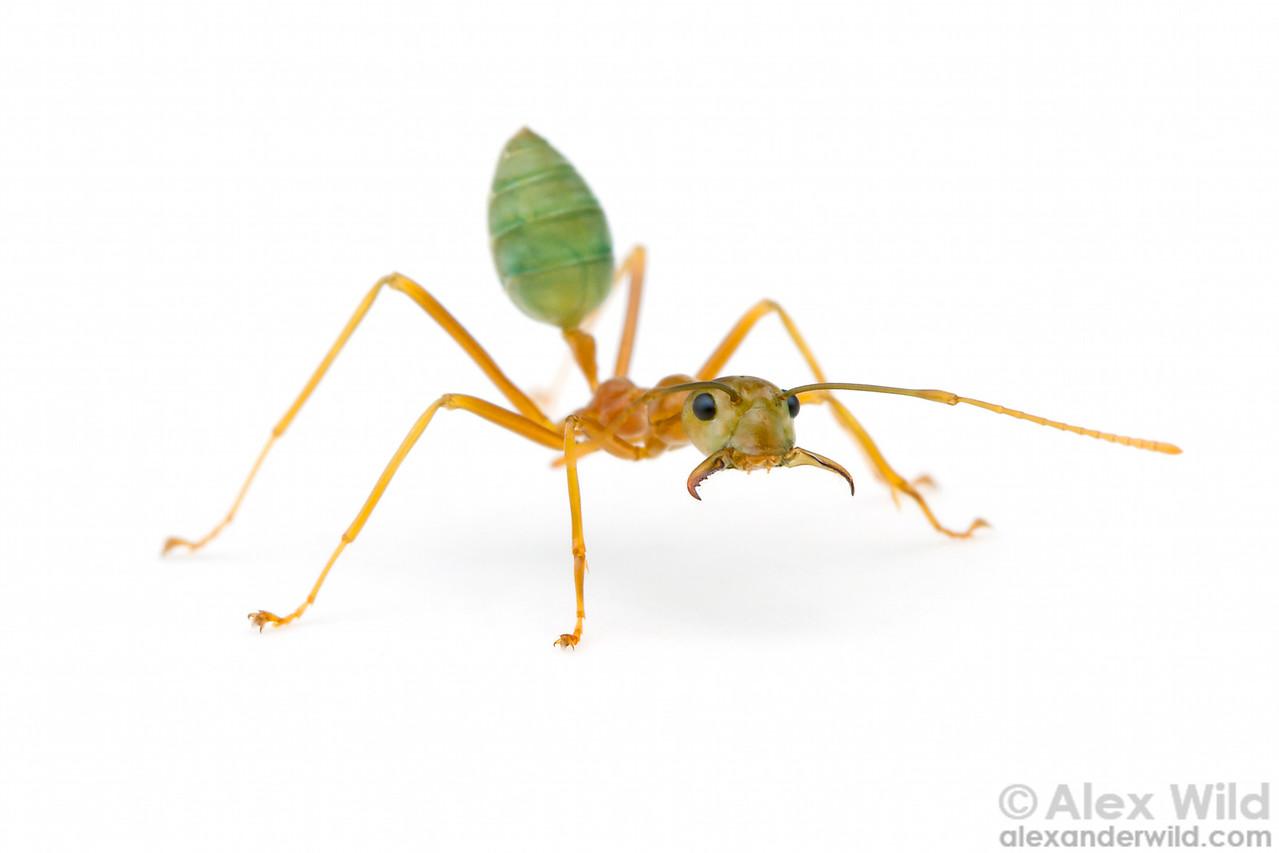 Oecophylla smaragdina weaver ant major worker.  Cape Tribulation, Queensland, Australia