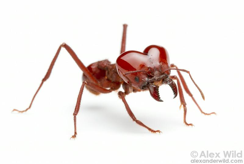 Atta laevigata is the largest of the leafcutter ants.  Carrancas, Minas Gerais, Brazil