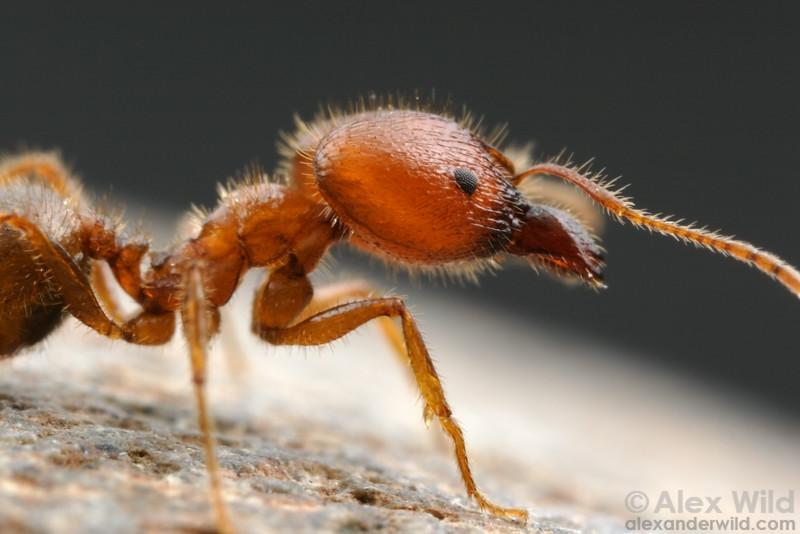 Pheidole obtusospinosa, major worker  Arizona, USA