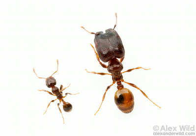 Pheidole aberrans, major and minor workers.  Bento Gonçalves, Rio Grande do Sul, Brazil