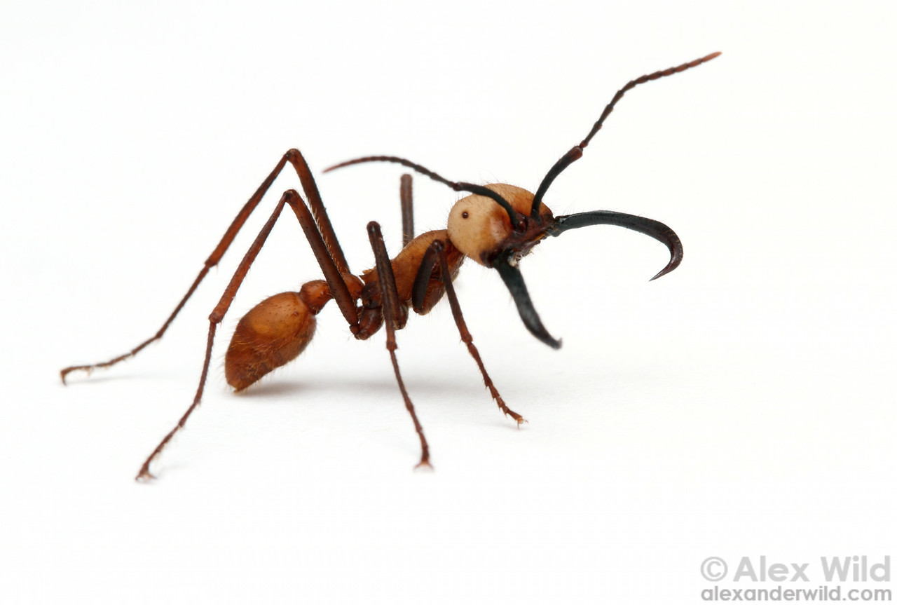 Eciton burchellii army ant soldier. The hooked mandibles are used to protect army ant colonies against vertebrate predators.  Maquipucuna Reserve, Pichincha, Ecuador