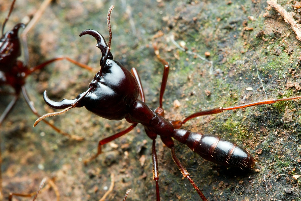 Dorylus driver ant soldier.  Kibale Forest, Uganda