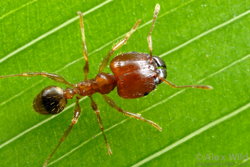 Pheidole megacephala, the big-headed ant, is one of the world's most damaging invasive ant species.  Durban, South Africa