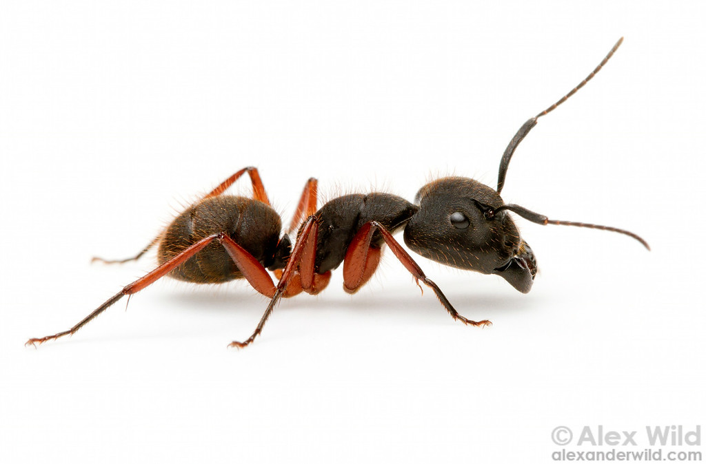 Camponotus rufipes is among the most common ant species in parts of South America.  Curitiba, Paraná, Brazil