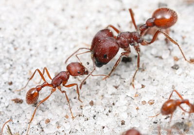 The Florida harvester ant Pogonomyrmex badius is the only North American pogo found east of the Mississippi, and the only species that is polymorphic in the worker caste.  The individual on the right is a major worker whose enlarged head holds muscles useful for milling seeds.  Archbold Biological Station, Florida, USA