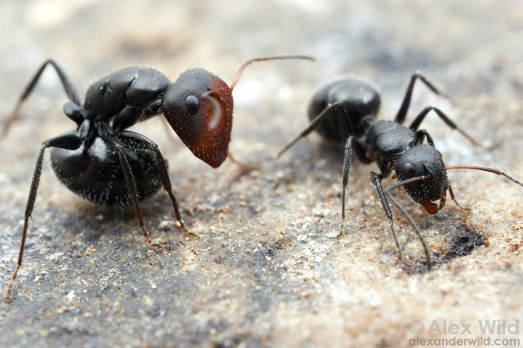 Camponotus ulcerosus, major and minor workers  Sierra Vista, Arizona, USA