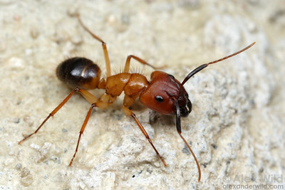 Camponotus atriceps major worker  Coclé, Panama