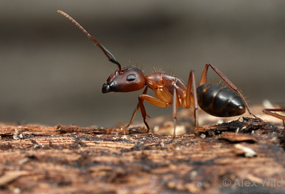 Camponotus tortuganus, major worker  Archbold Biological Station, Florida, USA