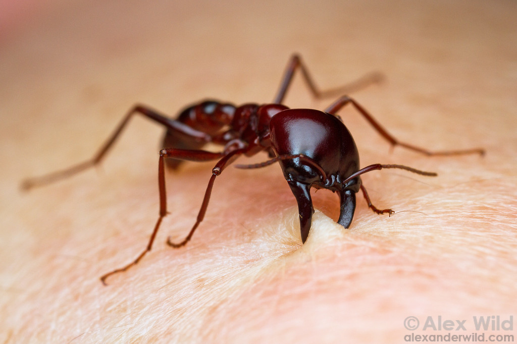 Worker Ant Vs Soldier Ant Dorylus driver ants are quick
