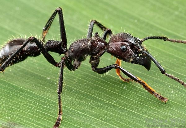 http://www.alexanderwild.com/Ants/Natural-History/Worker-Ants/clavata21/1191655212_PS4Le-M.jpg