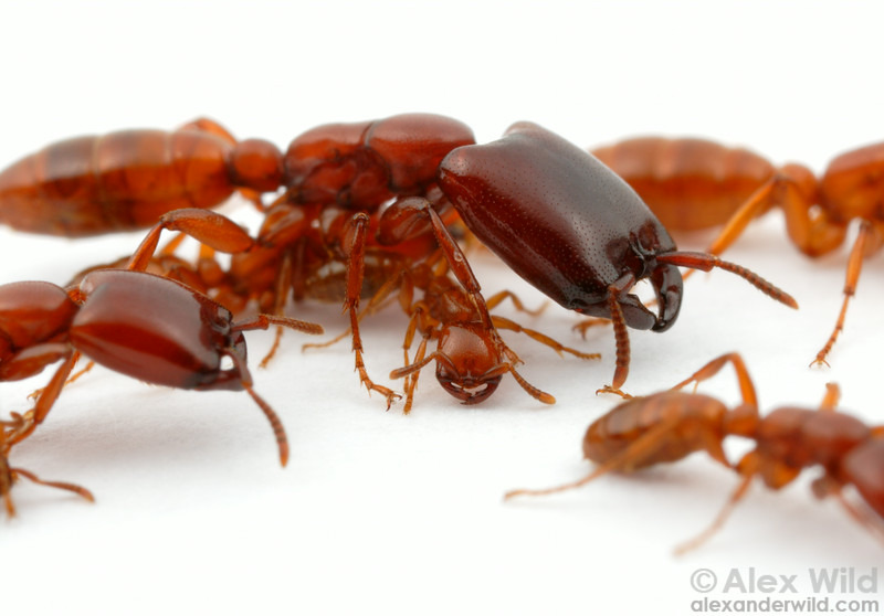 Dorylus helvolus is a polymorphic species, having worker ants of ...
