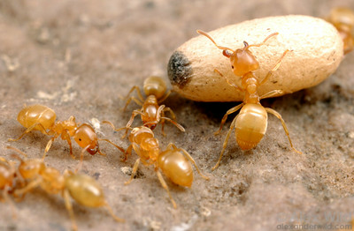 Lasius nearcticus workers with a queen pupa.  South Bristol, New York, USA