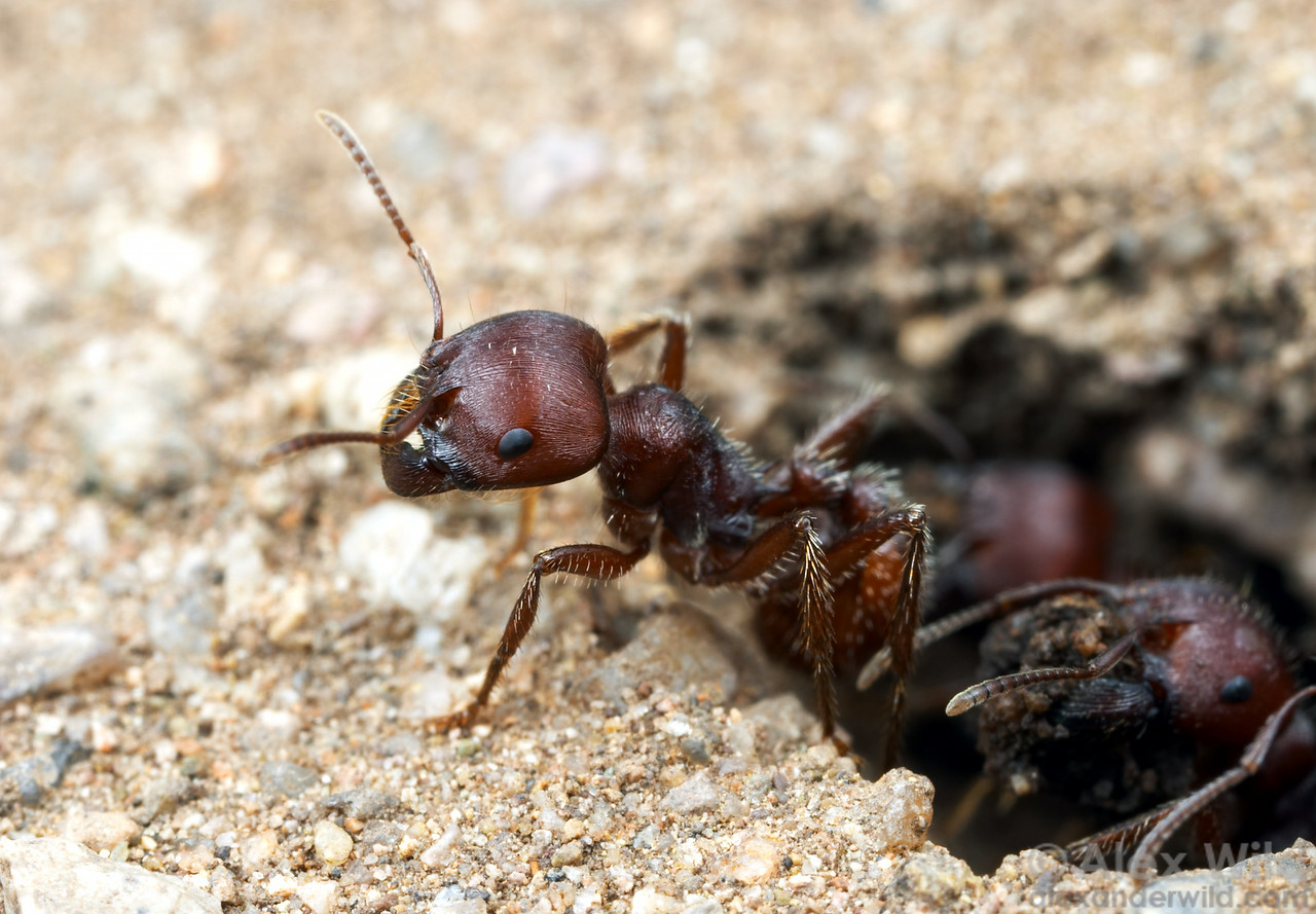 One of the strangest recorded ant phenomena is a hybrid zone between two species of harvester ants in the western United States.  Pogonomyrmex rugosus and Pogonomyrmex barbatus apparently hybridized in the ancient past, leading to a pair of genetically complex daughter lineages that continually need to cross with each other in order to make worker ants. The queens and males remain genetically separate.  Young queens need to mate with their own species, to produce more queens and males, and with the other species, to produce workers.   This image shows a hybrid worker leaving the nest.  Portal, Arizona, USA