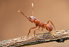 Trachymyrmex : Trachymyrmex is a fungus-growing ant intermediate in behavior and morphology between the smaller attines (such as Cyphomyrmex) and the leaf-cutting genera Atta and Acromyrmex.  They feed on a subterranean fungus that they cultivate with bits of plant debris and other detritus.  Like the other fungus-growers, Trachymyrmex is found only in the Americas.