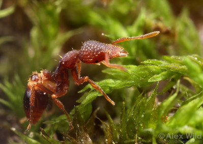 Strumigenys rostrata  Urbana, Illinois, USA