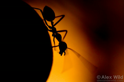 A foraging weaver ant (Oecophylla smaragdina) samples the air with her antennae.   Cape Tribulation, Queensland, Australia