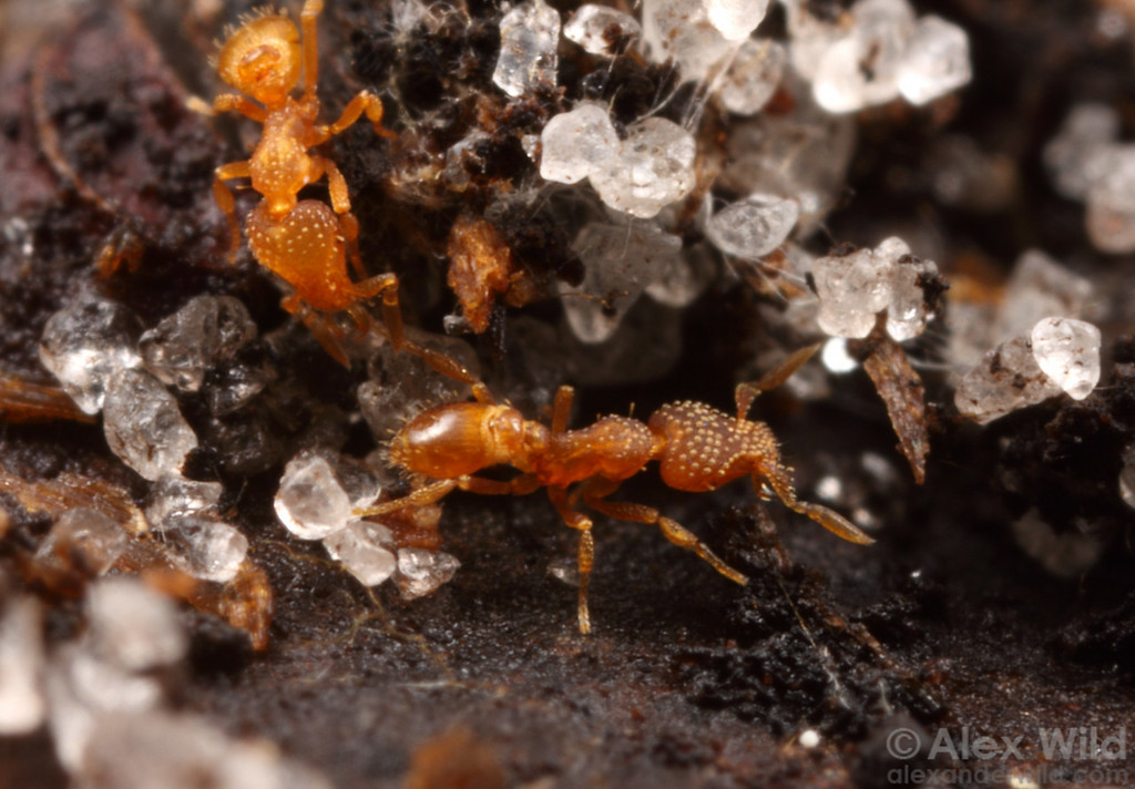Strumigenys emmae workers are scarcely larger than the sand grains in the soil they inhabit.  Archbold Biological Station, Florida, USA