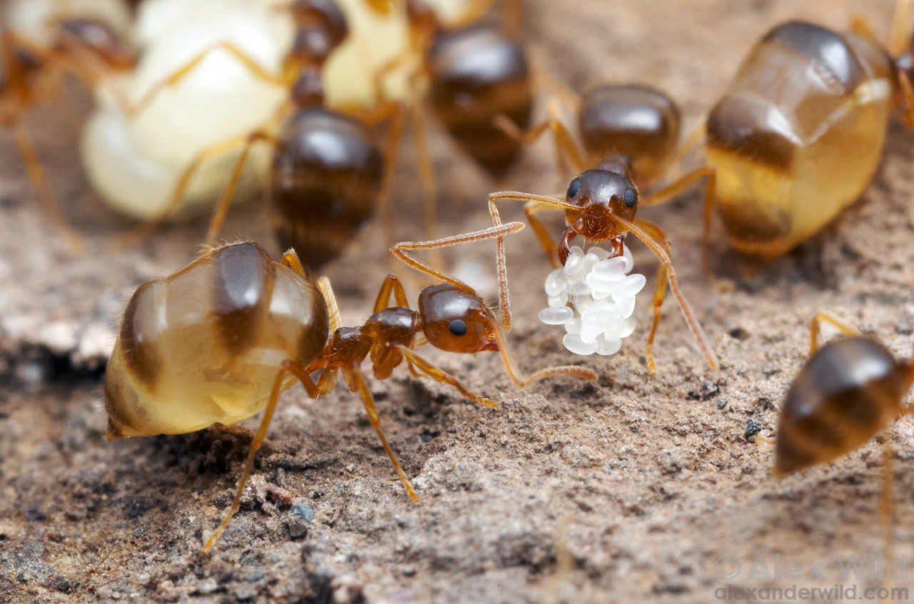 Deep inside a nest of Prenolepis imparis, young worker ants are swollen with liquid food.  These replete ants act as living storage containers and allow the colonies to persist through dearth periods.  Huachuca Mountains, Arizona, USA