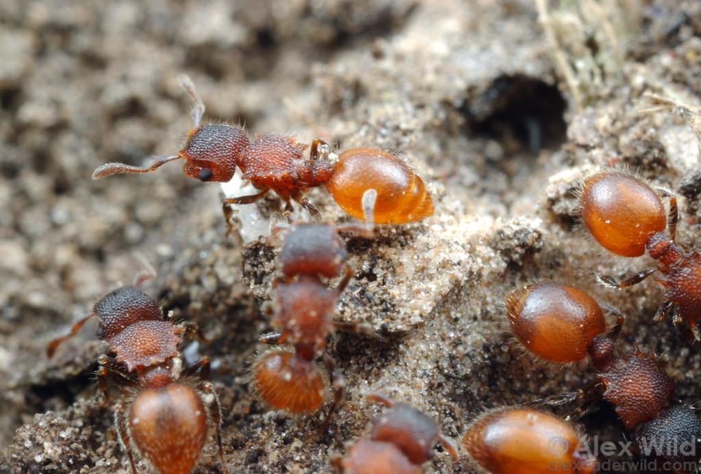 Meranoplus sp. shield ants.  Diamond Creek, Victoria, Australia