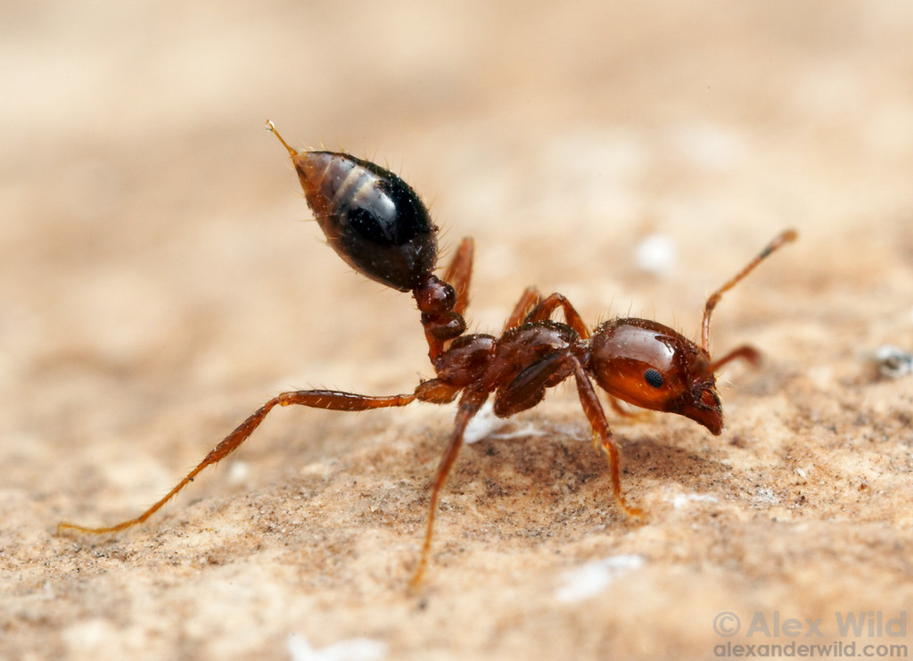 Among the most damaging pest ant species is Solenopsis invicta, a fire ant native to South America.  This species has been accidentally imported to the southern United States, eastern Australia, China, and elsewhere.  Here a worker fire ant is shown in stereotypical defensive posture, her sting extruded, waving a droplet of venom in the air.  Austin, Texas, USA