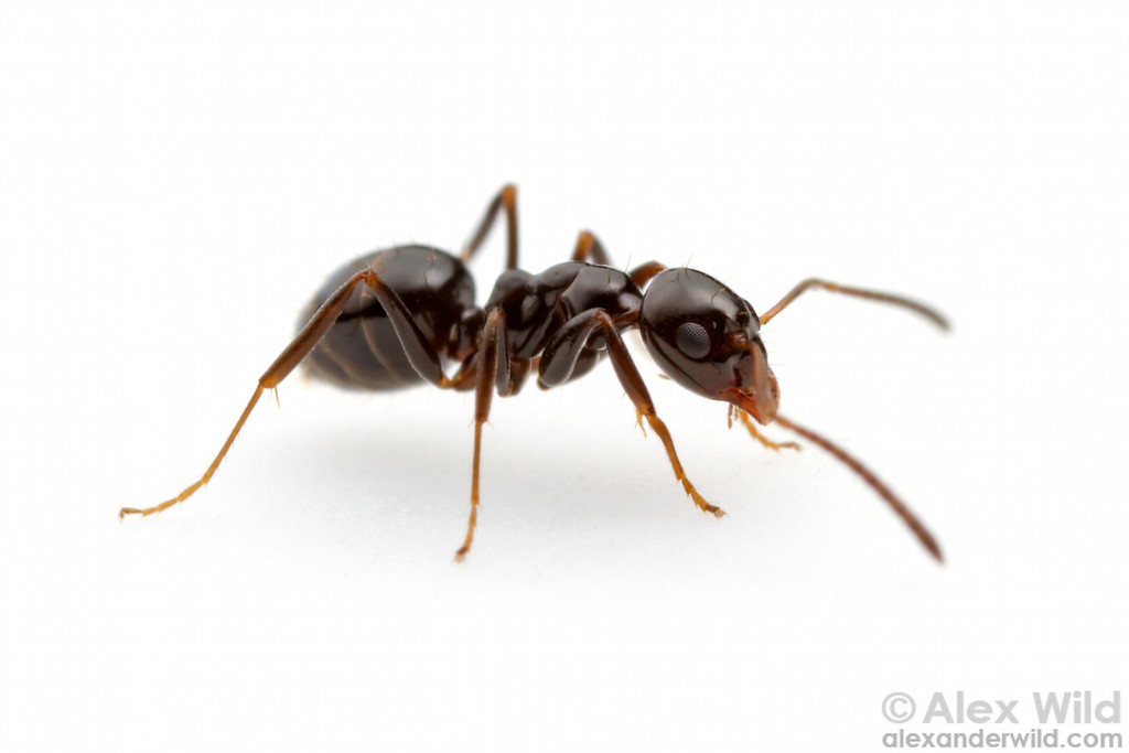 Portrait of a Prolasius worker.  Diamond Creek, Victoria, Australia