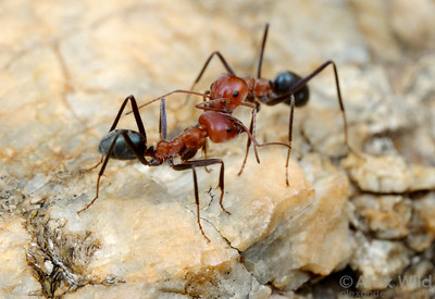 Two workers of Iridomyrmex reburrus, one of the northern meat ants.  Cape York Peninsula, Queensland, Australia
