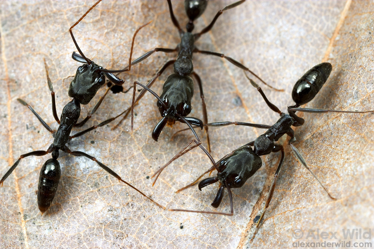 Odontomachus bauri trap-jaw ants showing some of the different mandible positions.  La Selva, Heredia, Costa Rica