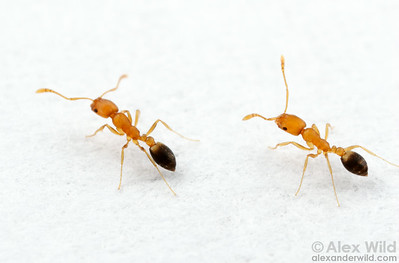 The pharoah's ant Monomorium pharaonis is among the most persistent of indoor ant pests.  These slender yellow ants characteristically form long foraging trails.    Panama City, Panama